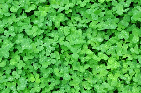marsilea: green clover leaves with dew background