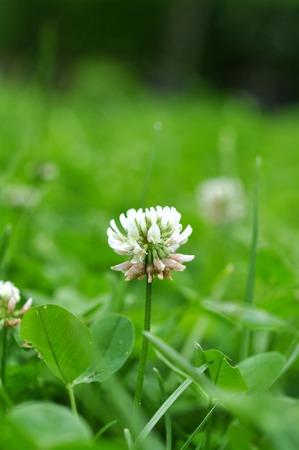 irish easter: White clover flower in green clover leaves meadow