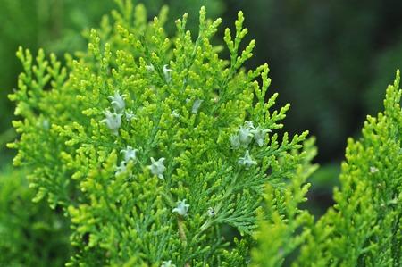 twig: Beautiful Green Yew Twig Outdoor