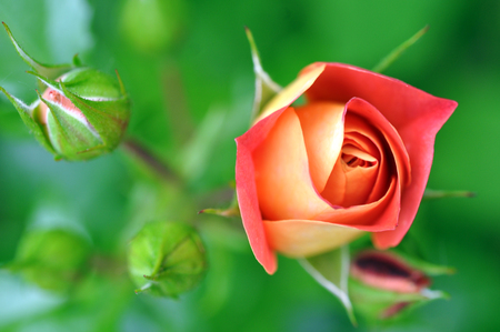 orange rose: Beautiful Orange Rose Flower Outdoor