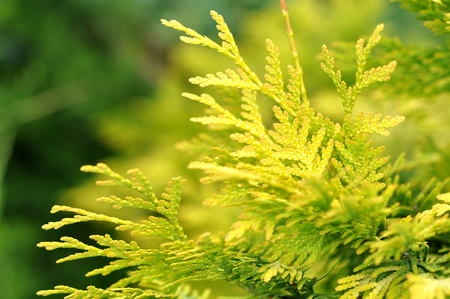 thuja occidentalis: Yellow and Green Thuja on Natural Background