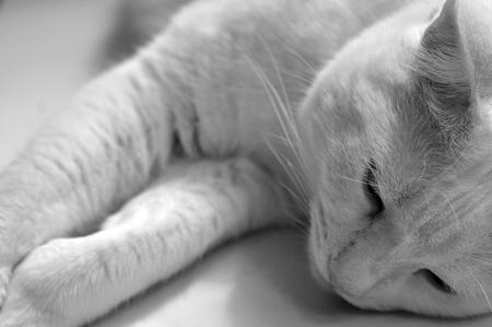 tones: White Cat Closeup In Gray Tones Stock Photo
