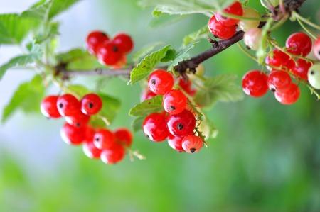 Red Currants In The Garden, Summer Harvest