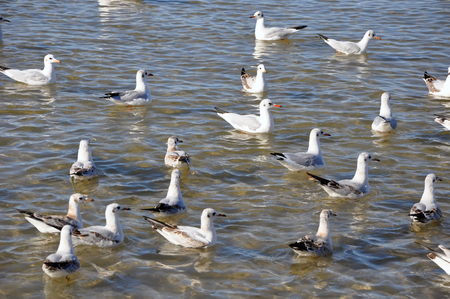 fight hunger: Hungry gulls on sea waves. Many birds on water