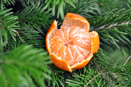 clementines: Fresh Sweet Clementines or Tangerines with Xmas Tree Branches