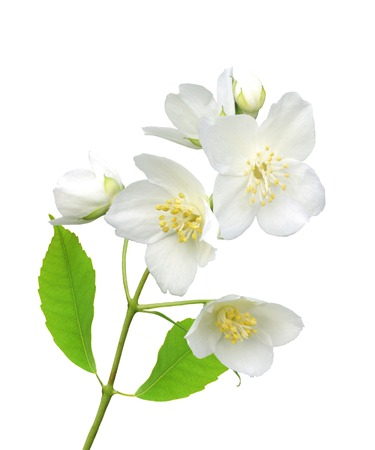 jessamine: beautiful jasmine flowers with leaves isolated on white Archivio Fotografico