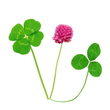 Leaf and flower of clover isolated on white background Stock Photo