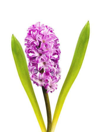 Pink hyacinth isolated on white background