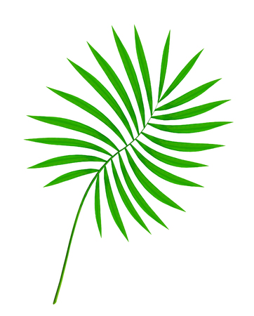 hamedoreya: beautiful green palm leaf isolated on white background