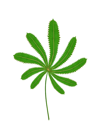 close up a cannabis leaf isolated on white background Stock Photo