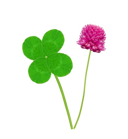 Leaf and flower of clover isolated on white background Imagens