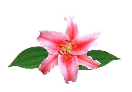 beautiful pink lily on white background Stock Photo