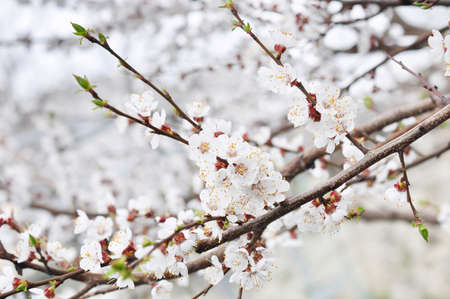 White spring flowers of apricot on branches on nature background Reklamní fotografie