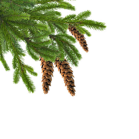 Green Christmas Fir Tree Branch with Cones isolated on White like Christmas Decor Composition