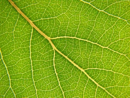 aspen leaf close up Stock Photo