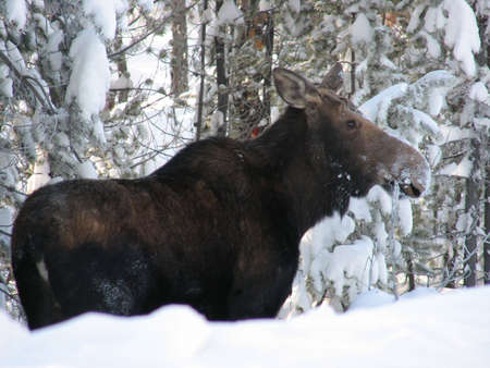 and winter: cow moose in winter