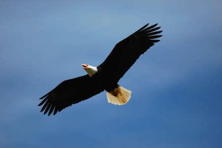 a large bird of prey: Aquila calva