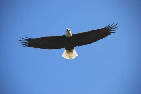 eagle flying Stock Photo