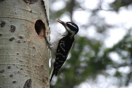 hairy woodpecker female Stock Photo