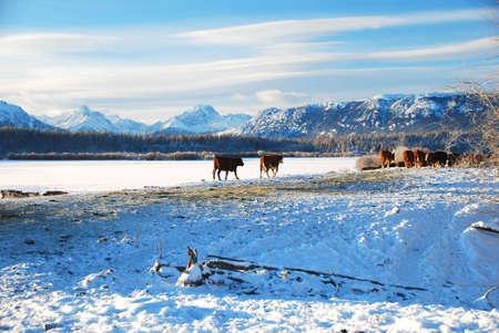 牛や山 写真素材