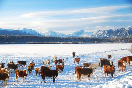 ranching: Monta�a y las vacas