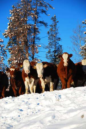 many cows  Stock Photo