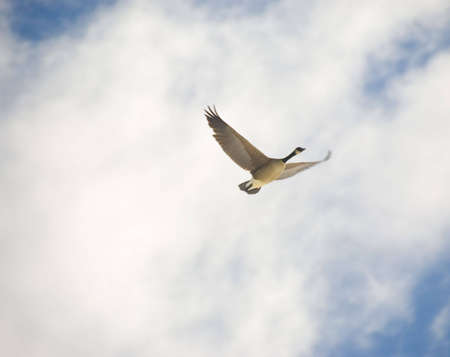 beautiful flying geese in the blue sky