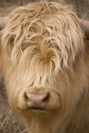 head of a scottish highlander calf in winter photo