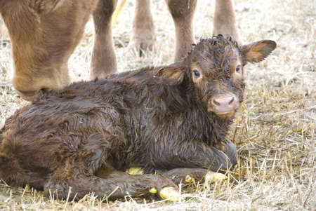 one day old calf on the meadow photo