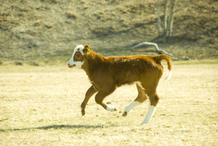 young calf is running on the meadow