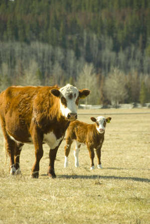 cow with youn calf on the meadow photo