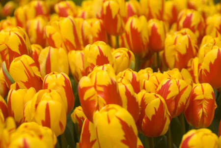 beautiful yellow and red tulups in a park in holland Stock Photo
