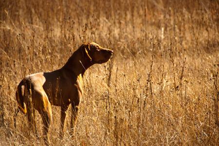 狩猟犬 写真素材
