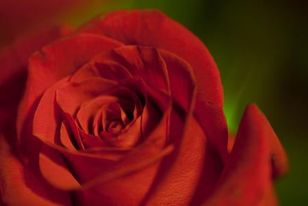 緑の背景の赤いバラ 写真素材