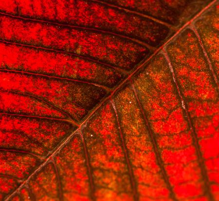 ポインセチアの葉マクロ