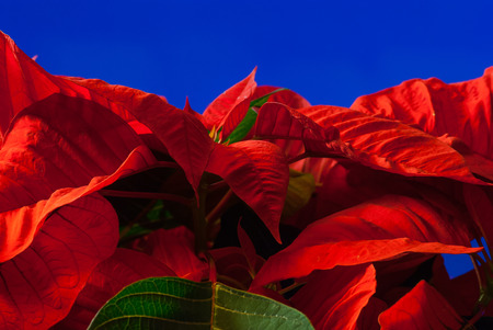 poinsettia close up blue background