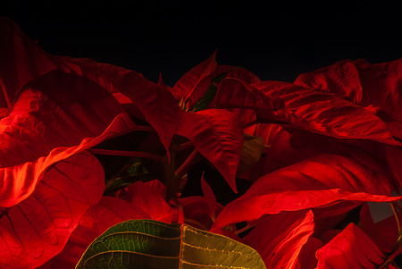 Poinsettia close up black background