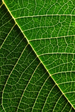 ポインセチアの葉のマクロ