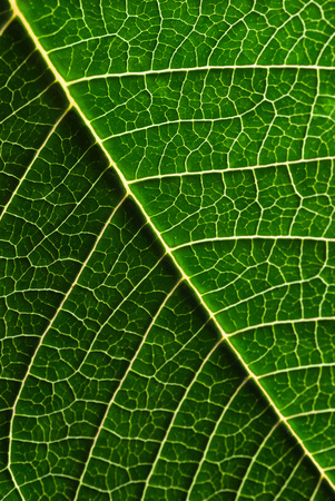 macro of green Poinsettia leaf