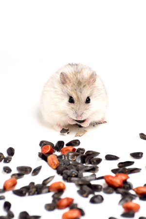 Jungar hamster on a white background of dry grass and nuts Stock Photo - 12590001