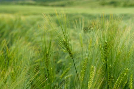 Green young wheat close-up. Banque d'images