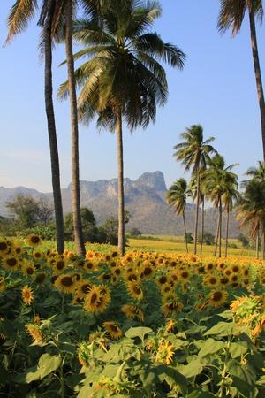 Beautiful sunflower farm in blue sky Stock Photo - 9680779