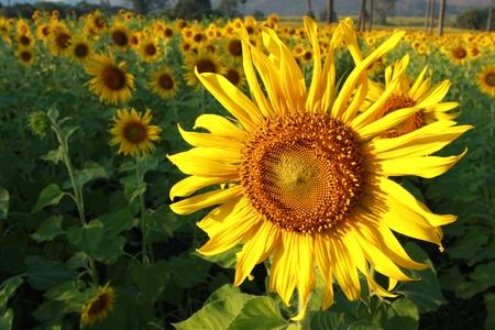 Beautiful sunflower farm in blue sky