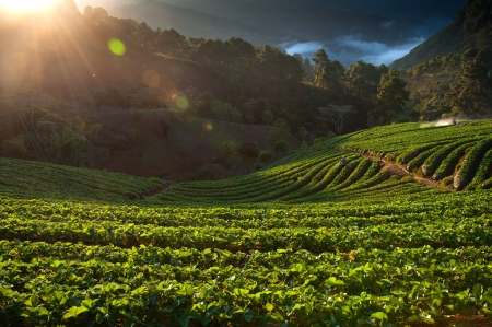 Beautiful landscape and fresh strawberries farm in winter at Chiangmai   Thailand Stock Photo - 16634979