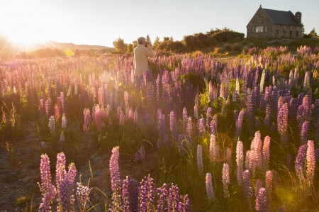 Beautiful landscape of flower garden at Lake Tekapo in South Island, New Zealand