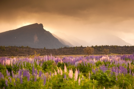 Beautiful view of flower garden and mountain in sunset time, South Island, New Zealand