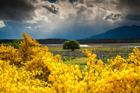 Beautiful landscape of lonely tree in flower garden, South Island, New Zealand