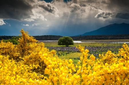 Beautiful landscape of lonely tree in flower garden, South Island, New Zealand