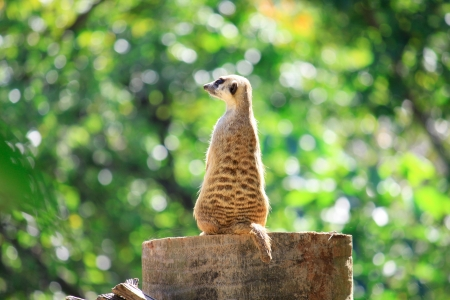 savana: Meerkats stand alone on the rock in zoo Stock Photo