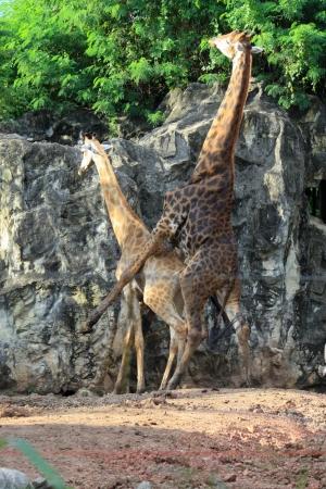 hacer el amor: Un par de jirafas que hacen el amor en el zoológico Foto de archivo